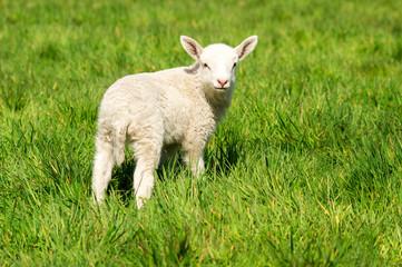 Osterzeit  - süßes, weißes Lamm auf einer grünen Wiese