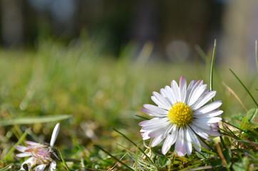 daisy in lawn