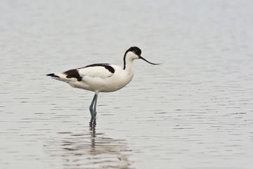 avocetta (Recurvirostra avosetta) nello stagno