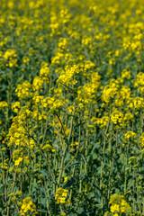Blooming canola field - Rape on the field in summer