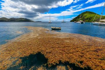 Guadeloupe - Les Saintes - Algues