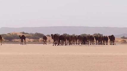 Cammelli nel deserto con cammelliere berbero