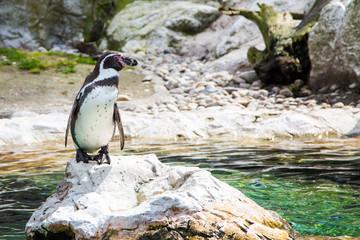 The Humboldt or Peruvian Penguin