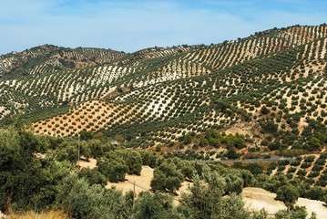 Spanish olive groves in mountains © Arena Photo UK
