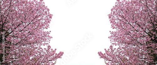 Sakura or cherry Blossom.