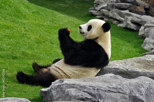 In de dag Panda Panda à Pairi Daiza (Belgique)