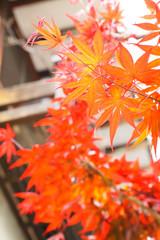 軒先の紅葉