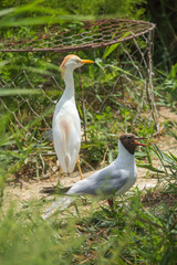 Black-headed Gull and Cattle Egret outdoors