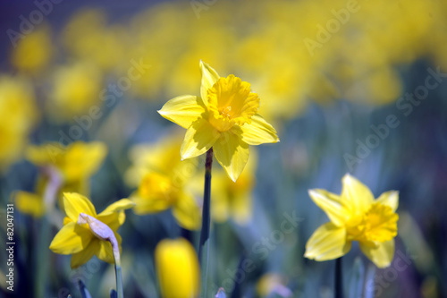 Fotobehang Narcis Flowers - daffodil just before spring.