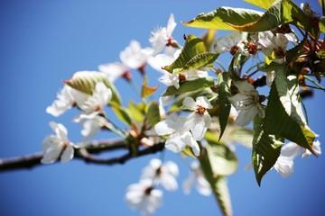 Kirschblüten am Lago Maggiore im Frühling