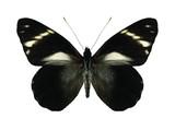 Butterfly Pereute telthusa (underside)