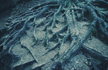 Strong roots of old trees.