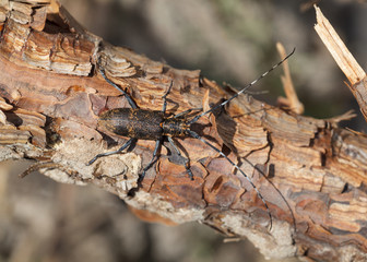 Longhorn beetle from above view