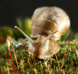 Front view of snail in moss