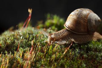 Garden snail in moss