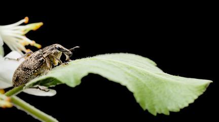 Snout beetle on leaf