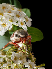Cockchafer on hawthorn inflorescence