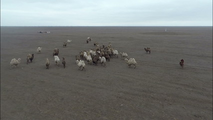 camels graze in the steppes of Kalmykia