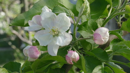 Closeup of blossoming apple tree flowers in spring