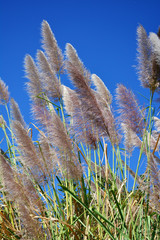 Beautiful grass flower and blue sky background.