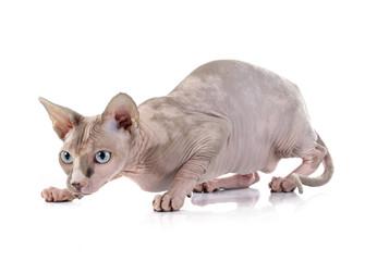 Sphynx Hairless Cat