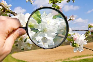 Obstblüte mit Lupe untersuchen