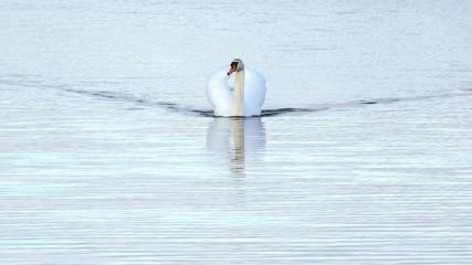 Schwimmender Schwan