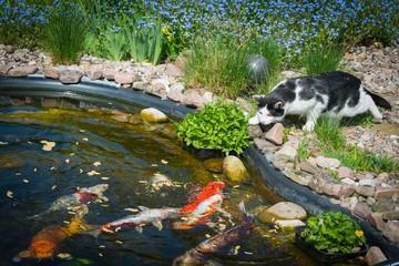 Katze lauert am Teich mit Koi-Karpfen
