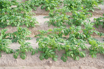 Side view of potato plantation