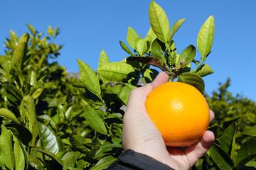 Recolectando naranjas