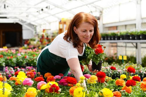 Frau arbeitet in einer Gärtnerei, Anbau von Blumen - 82063719