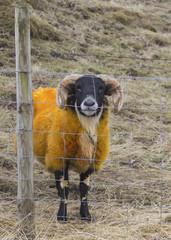 Sheep Ram Ovis aries