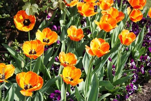 Foto op Canvas Pansies Schöne Tulpen am Lago Maggiore im Frühlingsgarten