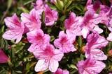In voller Blüte japanische Azaleen am Lago Maggiore im Frühling