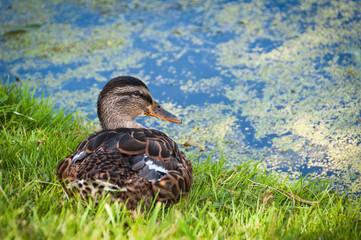 Female Duck Sitting on Grass near Water Pond