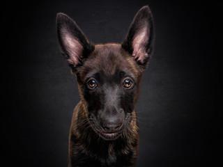 hollandse herder/holländischer schäferhund welpe