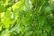 Постер, плакат: Зелёные грозди винограда в лучах солнца