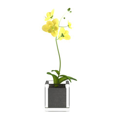 Orchid yellow flower in the pot