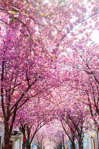 Aluminium Kersen Straße mit Kirschblüte in der Bonner Altstadt