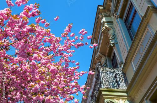 Foto op Canvas Kersen Straße mit Kirschblüte in der Bonner Altstadt