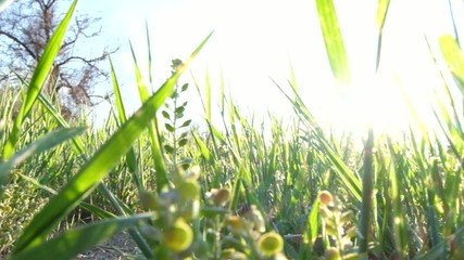 Macro footage of fresh spring grass backlit by sun shine