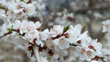 Spring Cherry blossoms, closeup flowers.