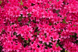 ピンクのツツジ(躑躅)の花
