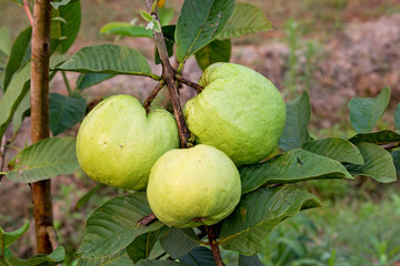 Guava fruit on the tree (Psidium guajava)