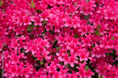 Fotobehang Azalea ピンクのツツジ(躑躅)の花