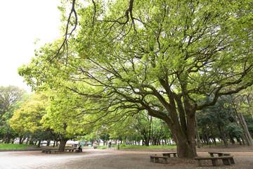 新緑と大木