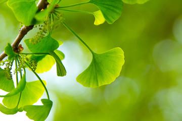 新緑の葉っぱ(イチョウ)