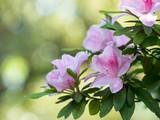 初夏の美しいツツジの花