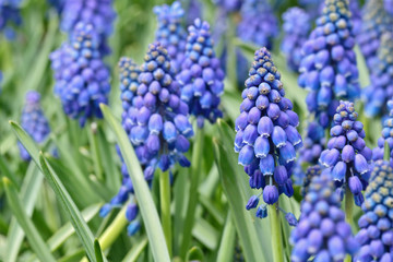 Blooming blue flowers (Muscari Neglectum) with selected focus