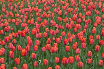 Beautiful red tulips flower field